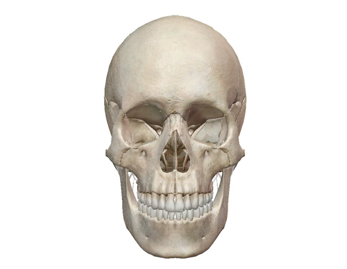 頭蓋骨・自律神経