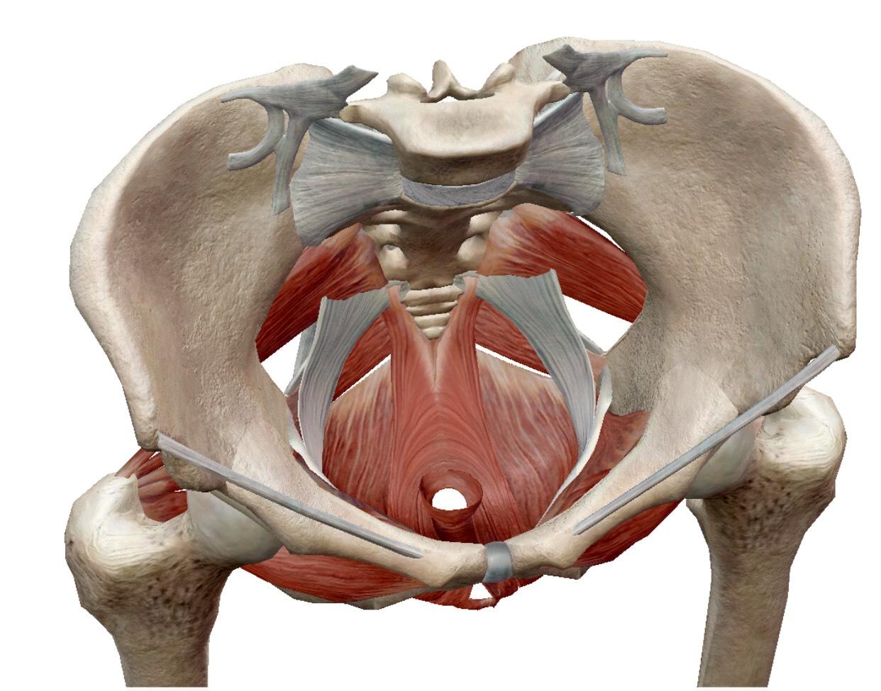 骨盤底筋の画像